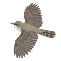 Marsh Warbler Flight Illustration