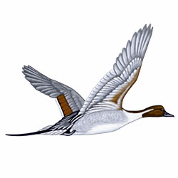 Pintail Flight Illustration
