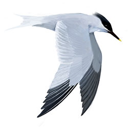 Sandwich Tern Flight Illustration.jpg