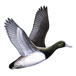 Scaup Flight Illustration