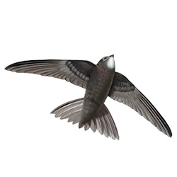 Swift Flight Illustration