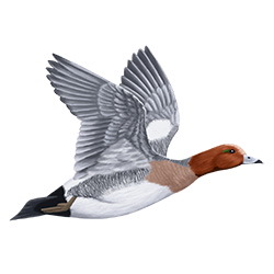 Wigeon Flight Illustration