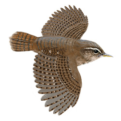Wren Flight Illustration