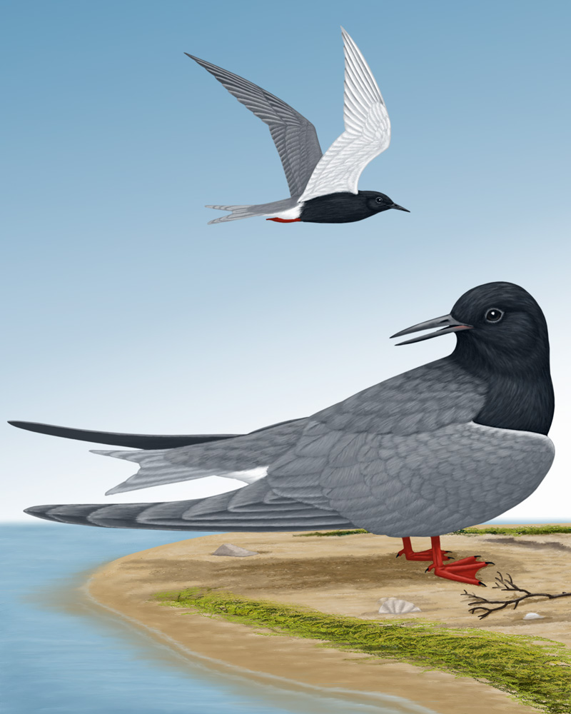 Black Tern Portrait