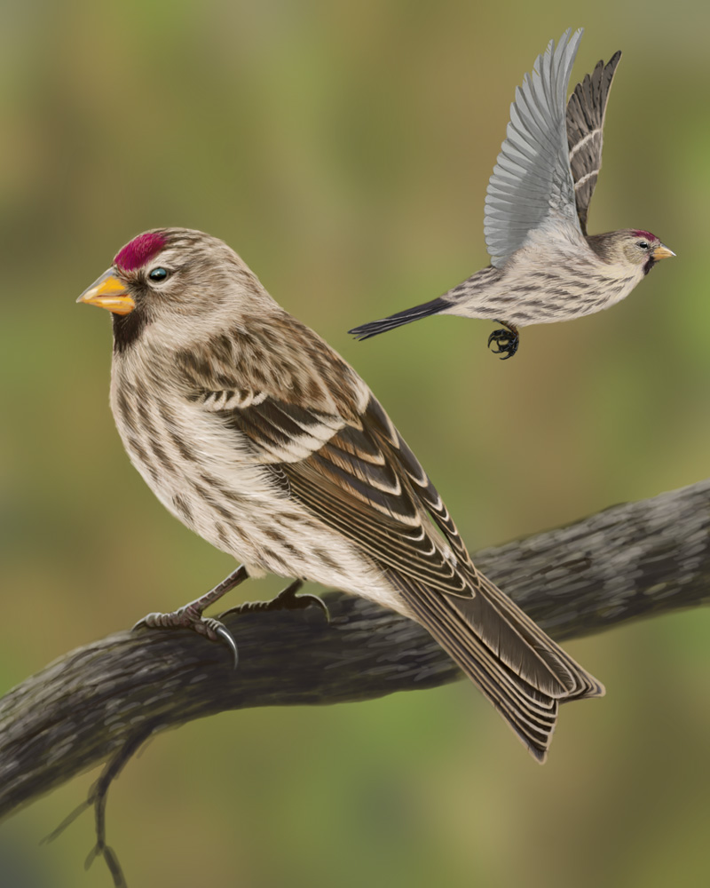 Common Redpoll Portrait