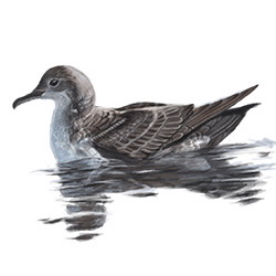 Balearic Shearwater Body Illustration