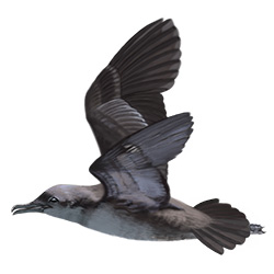 Balearic Shearwater Flight Illustration