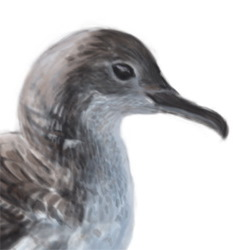 Balearic Shearwater Head Illustration