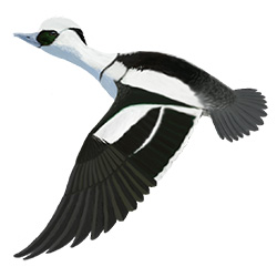 Smew Flight Illustration