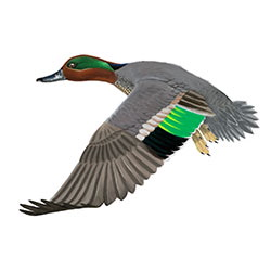 Teal Flight Illustration