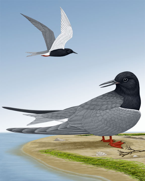 Black Tern_CEPortrait_576