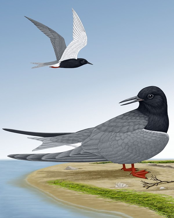Black Tern_CEPortrait_1200