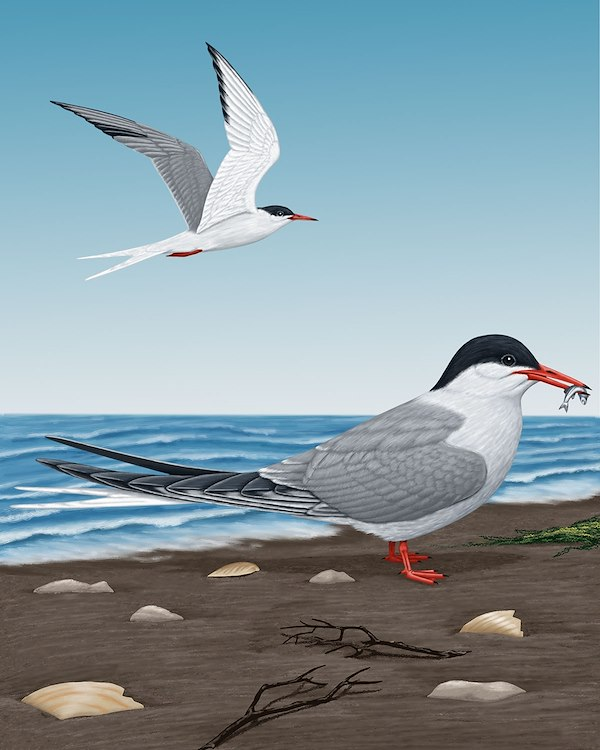 Common Tern_CEPortrait_1200