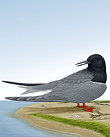Black Tern Thumbnail Large