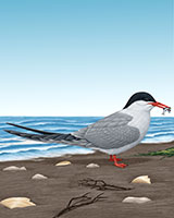 Common Tern Thumbnail Large