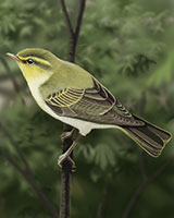 Wood Warbler Thumbnail Large