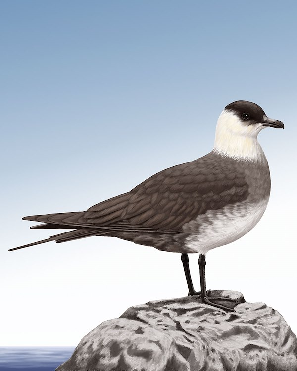Arctic Skua Light Morph_CEVariation1_1200.jpg