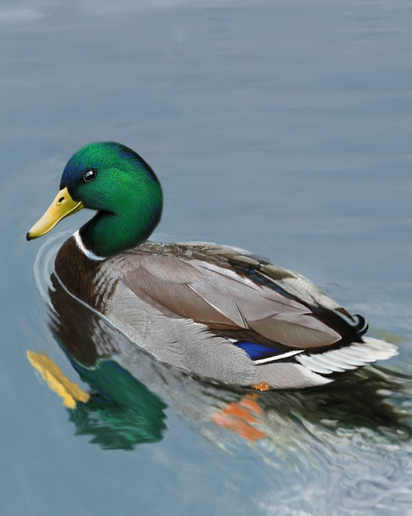 Mallard Male_CEVariation1_1200