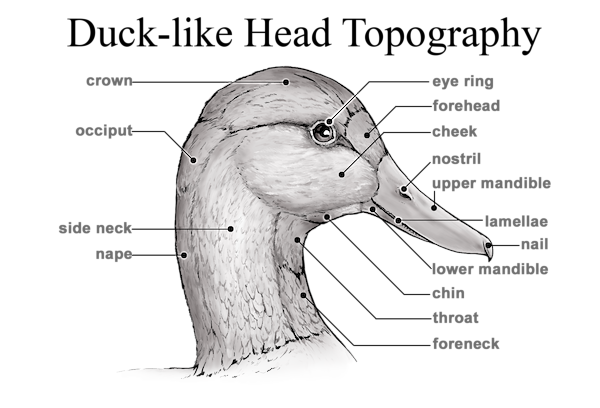 Duck-like Head Topography