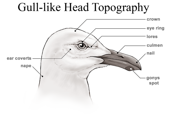 Gull-like Head Topography