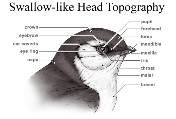 Swallow-like Head Topography