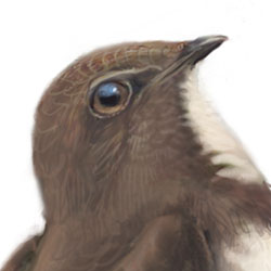 Alpine Swift Head Illustration