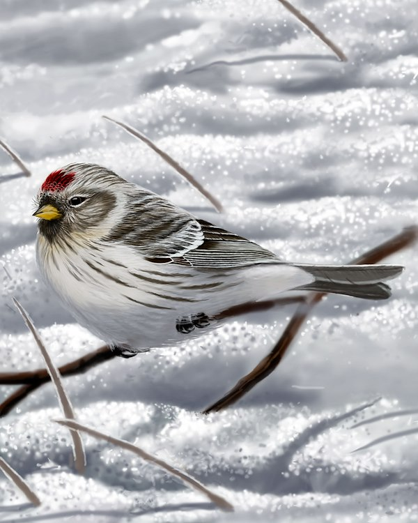 Arctic Redpoll Female_CEVariation3_1200