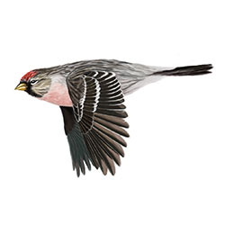 Arctic Redpoll Flight Illustration