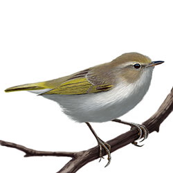 Western Bonelli's Warbler Body Illustration