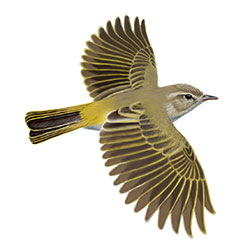 Western Bonelli's Warbler Flight Illustration