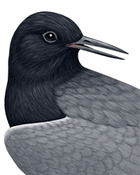 Black Tern Thumbnail Head Largest