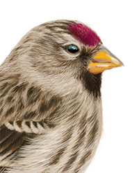 Common Redpoll Thumbnail Head Largest.png