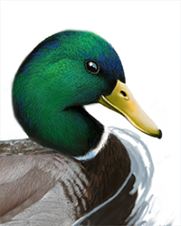 Mallard Thumbnail Head Largest