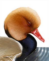 Red-crested Pochard Thumbnail Head Largest
