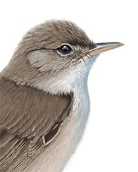 Reed Warbler Thumbnail Head Largest
