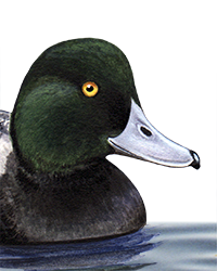 Scaup Thumbnail Head Largest