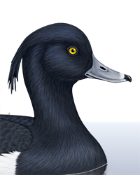 Tufted Duck Thumbnail Head Largest