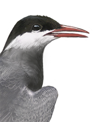 Whiskered Tern Thumbnail Head Largest