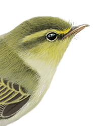 Wood Warbler Thumbnail Head Largest