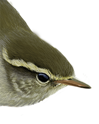 Yellow-browed Warbler Thumbnail Head Largest