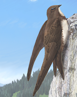 Alpine Swift Thumbnail Body Largest.png