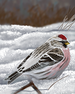 Arctic Redpoll Thumbnail Body Largest.png