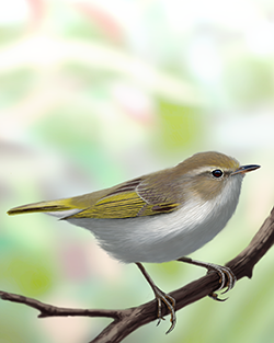 Western Bonelli's Warbler Thumbnail Body Largest.png