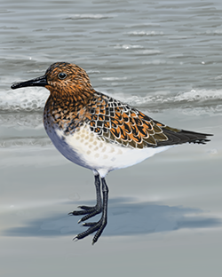 Sanderling Thumbnail Body Largest.png