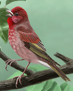 Common Rosefinch Thumbnail Body Largest.png