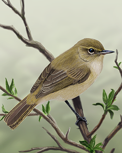 Chiffchaff Thumbnail Body Largest.png