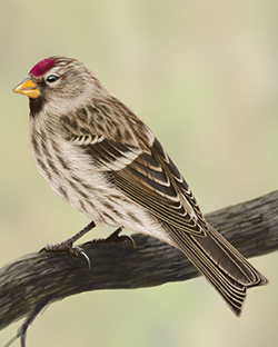 Common Redpoll Thumbnail Body Largest.png