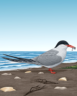 Common Tern Thumbnail Body Largest.png