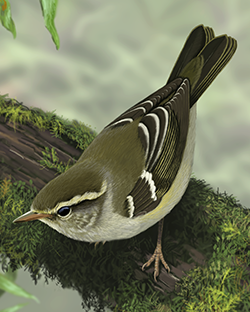 Yellow-browed Warbler Thumbnail Body Largest.png