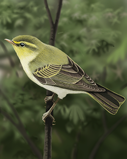 Wood Warbler Thumbnail Body Largest.png